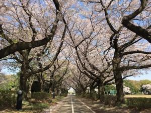 国リハ桜2018 3