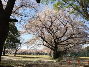 国リハ桜2018 5