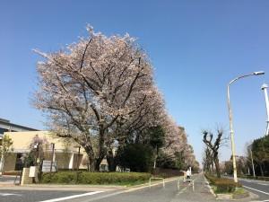 国リハ桜2018 2